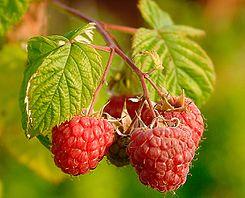raspberries_rubus_idaeus